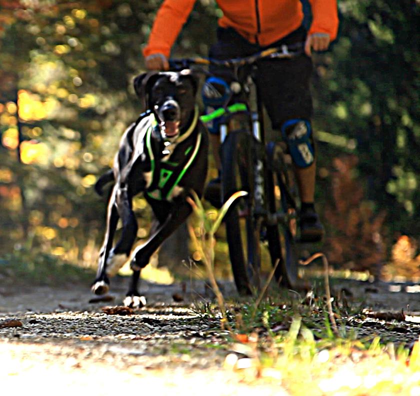 Entraînement cani-VTT avec Lichen