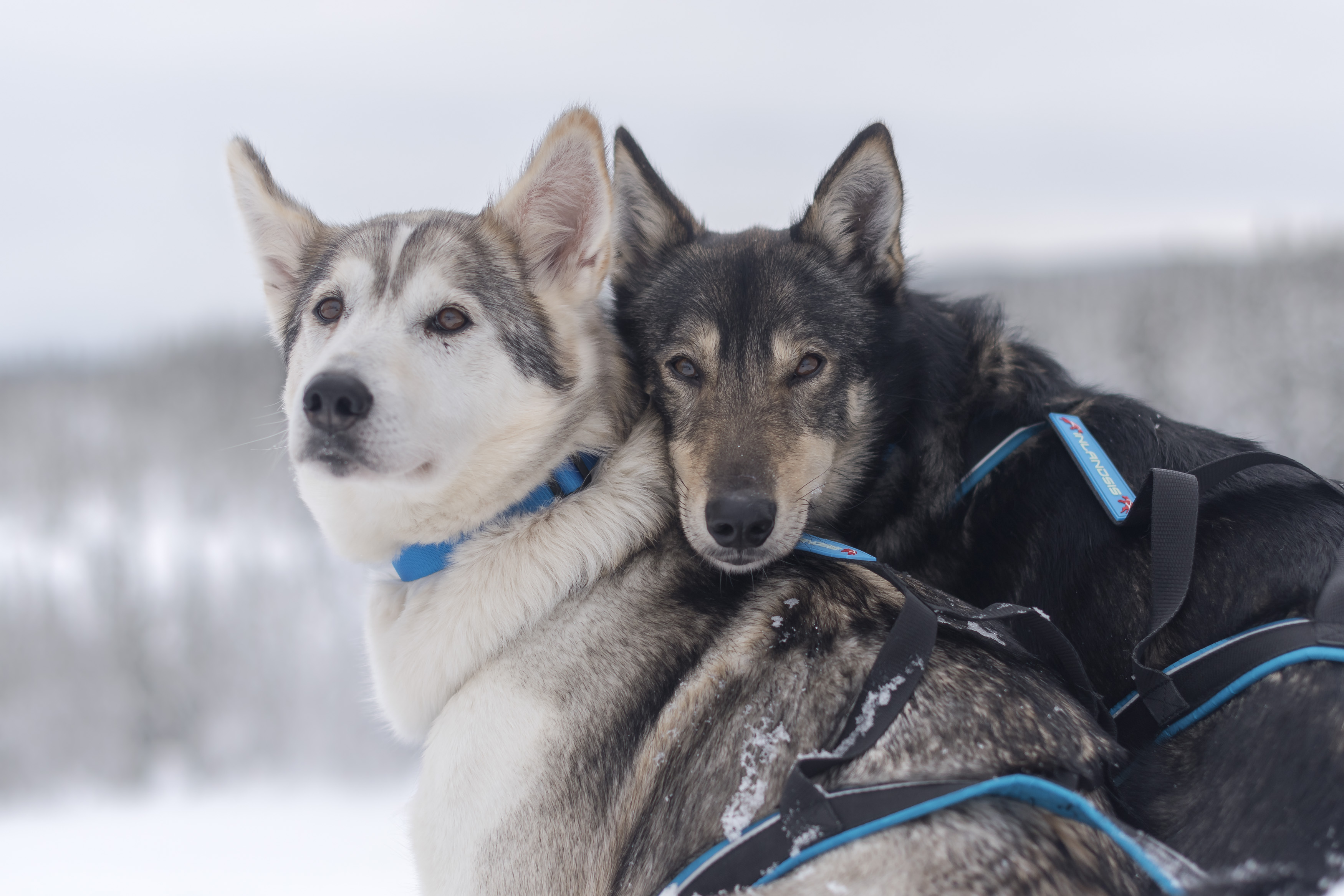 Polar Quest Harnesses & Summit Collars